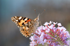 Butterfly showing his tongue. In soft light stock image