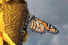 Monarch Butterfly shy. Close-up of a monarch butterfly on a sunflower with a gray sky in the background royalty free stock image
