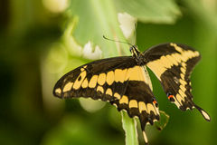 Butterfly sign of freedom Royalty Free Stock Photography