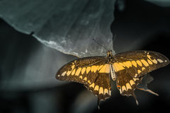 Butterfly sign of freedom Royalty Free Stock Images