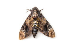 Butterfly of Silk moth Stock Photos