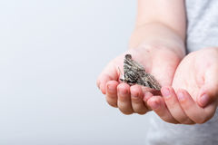 A butterfly of silkmoth in a child's hands - Lymantria dispar Royalty Free Stock Photos
