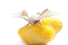 Butterfly of silkworm over yellow cocoon on white Stock Photos