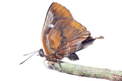 Butterfly silver streak blue Royalty Free Stock Photo