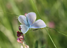 Butterfly: Silver-studded Blue Royalty Free Stock Photo