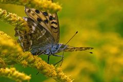 Butterfly Silver-washed Fritillary Argynnis paphia in close-up royalty free stock photos