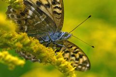 Butterfly Silver-washed Fritillary Argynnis paphia in close-up stock photos