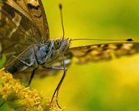 Butterfly Silver-washed Fritillary Argynnis paphia in close-up stock images