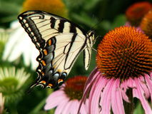 Butterfly sipping. Butterfly on a coneflower Stock Photos