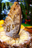 Butterfly Sipping Stock Photo