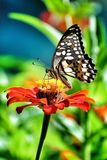 Butterfly. Sipping nectar Royalty Free Stock Photo