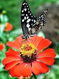 Butterfly. Sipping nectar of flower Stock Photos