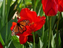 Butterfly sipping nectar from a red tulip Royalty Free Stock Photography