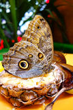 Butterfly Sipping Royalty Free Stock Image