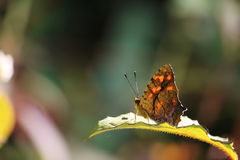 Butterfly Sit On Green Leaf Royalty Free Stock Image