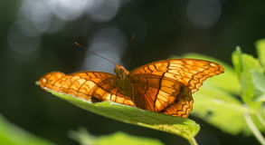 Butterfly siting elegantly on a leaf Stock Image