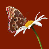 A butterfly sits on a daisy on the burgundy backgr Royalty Free Stock Images