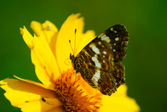Butterfly sits on a flower Royalty Free Stock Images