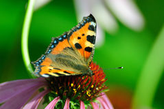 Butterfly sits on a flower Stock Images