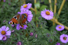 The butterfly sits on a flower. Latin name Inachis io. The butterfly sits on a flower. The butterfly is the representative of fauna of Europe. The Latin name stock photos