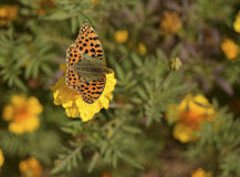 The butterfly sits on a flower. Latin name Issoria lathonia. The butterfly sits on a flower. The butterfly is the representative of fauna of Europe. The Latin Stock Image