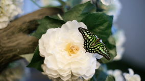 A Butterfly Sits On A Flower. The tailed jay, is a predominantly green and black tropical butterfly sits on a flower stock video footage