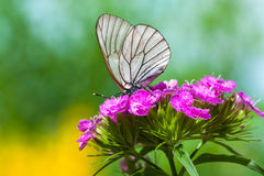 The butterfly sits on flowers Stock Images