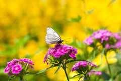 The butterfly sits on flowers Stock Image