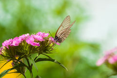 The butterfly sits on flowers Stock Photos