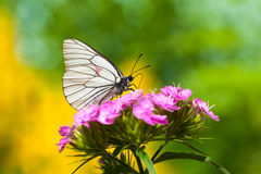 The butterfly sits on flowers Stock Photography