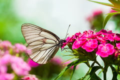 The butterfly sits on flowers Stock Photo
