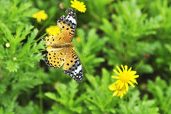 Butterfly sits on flowers Royalty Free Stock Image