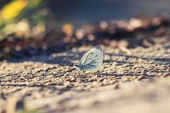 Butterfly sits on the Golden sand on the beach Stock Photo