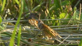 Butterfly sits on the grass. Spring season, May. Butterfly sits on mown grass, rural area. Close-up. Spring season, May stock video footage