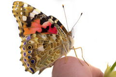 Butterfly sits in the hand Stock Image