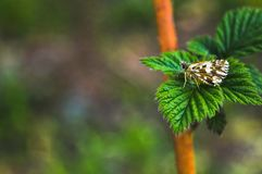 A butterfly sits on the leaves of a raspberry plant royalty free stock photography