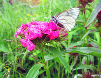 A butterfly sits of a pink garden flower Stock Image