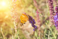 Butterfly sits on a sage flower Royalty Free Stock Images