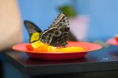 The butterfly sits on a skin of lemon royalty free stock photos