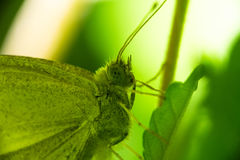 A butterfly sits on a stalk of grass. Macro.  Stock Photos