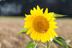 Butterfly sits on a sunflower. Sunflower grows in the field with wheat. Stock Photos