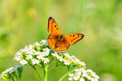 Butterfly sits on white flowers Royalty Free Stock Images