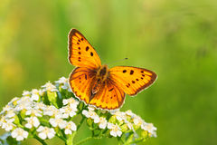 Butterfly sits on white flowers Stock Photo
