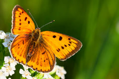 Butterfly sits on white flowers Royalty Free Stock Photography