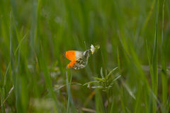 A butterfly sits on a white young spring flower Stock Photo