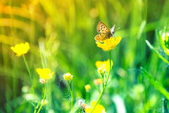 Butterfly. Sits on a yellow flower meadow Royalty Free Stock Images