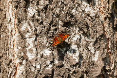 Butterfly sitting and basking on the birch trunk Royalty Free Stock Images