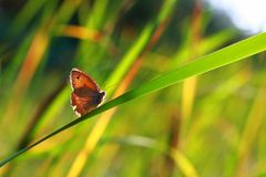 Butterfly sitting on a blade of grass: close-up. Beauty and harmony in nature, concept stock photography