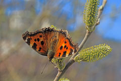 Butterfly sitting on the branch of a willow. Awakened butterfly sitting on the branch of a willow stock photo