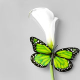 Butterfly sitting on caal flower royalty free stock photography
